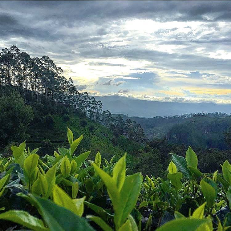 Instagram Photo By Hashtag Sl Aug 8 2016 At 6 55pm Utc Sri Lanka Photo Tea Estate