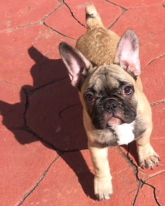 French Bulldog Puppies For Sale Pensacola Fl Safe Dog Toys French Bulldog Puppies Bulldog Puppies