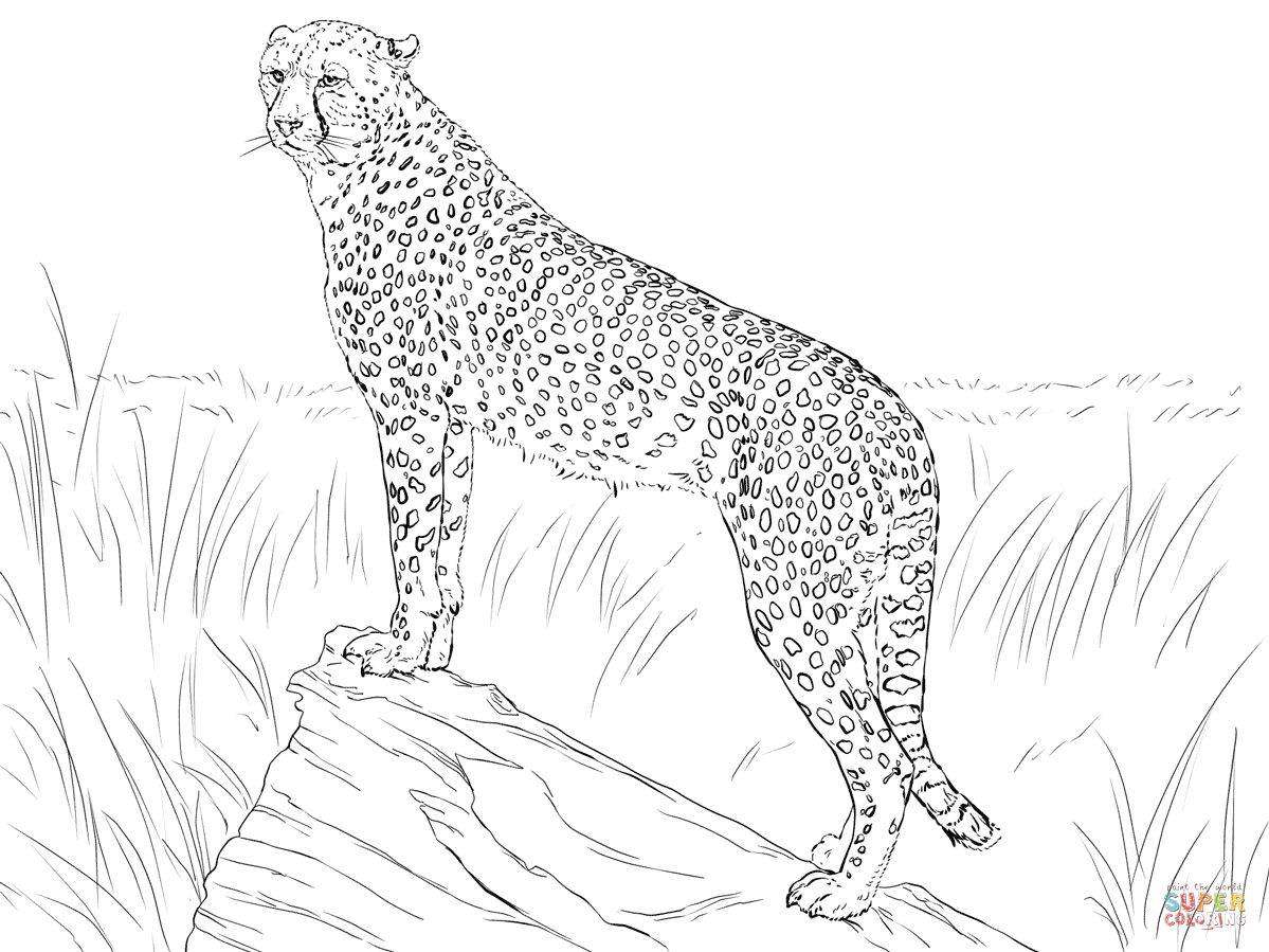 Cheetah Observing Its Prey Super Coloring Animal Coloring Pages Zoo Animal Coloring Pages Cat Coloring Page