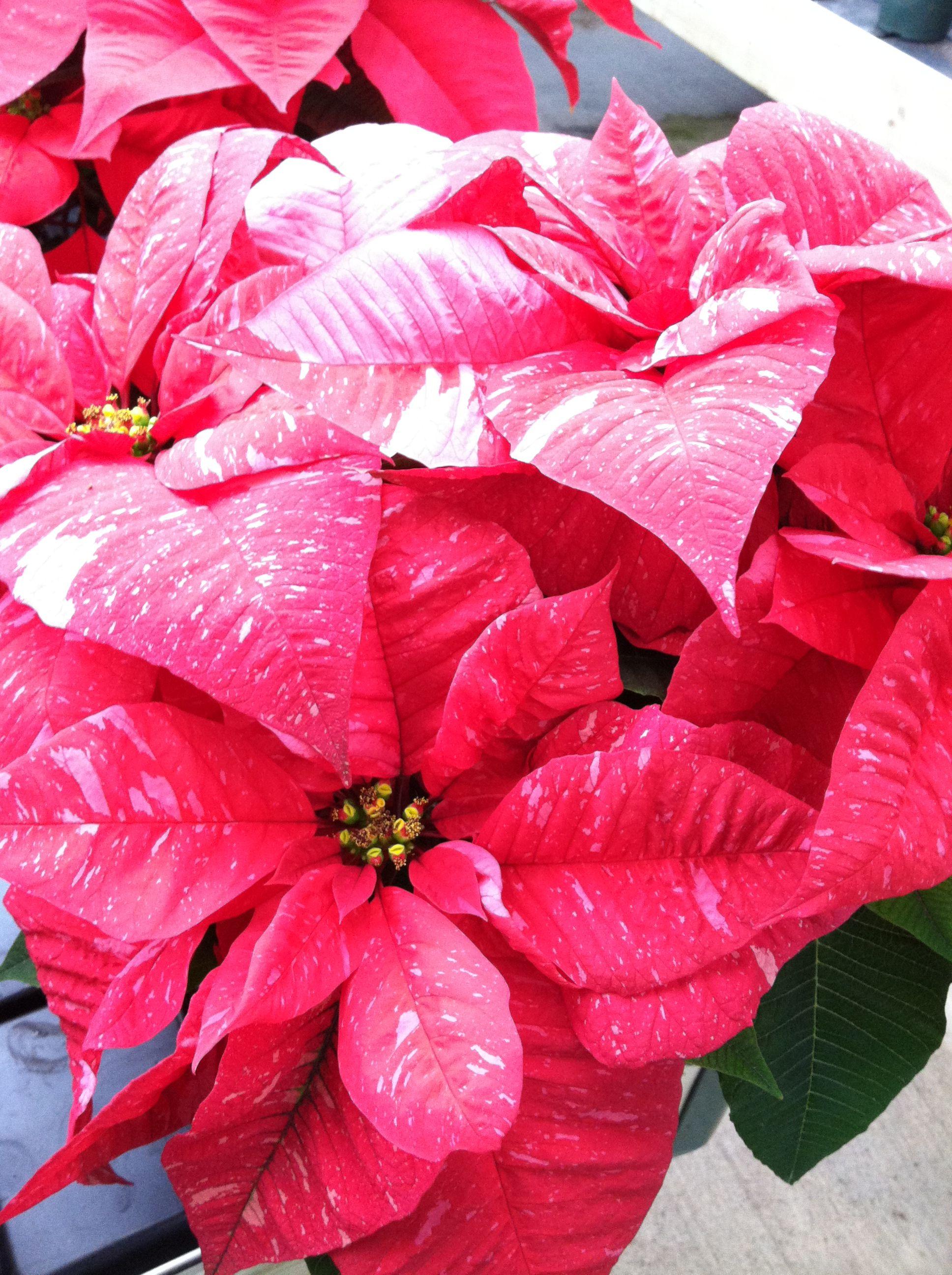 Poinsettia Flowers, Poinsettia, Plants