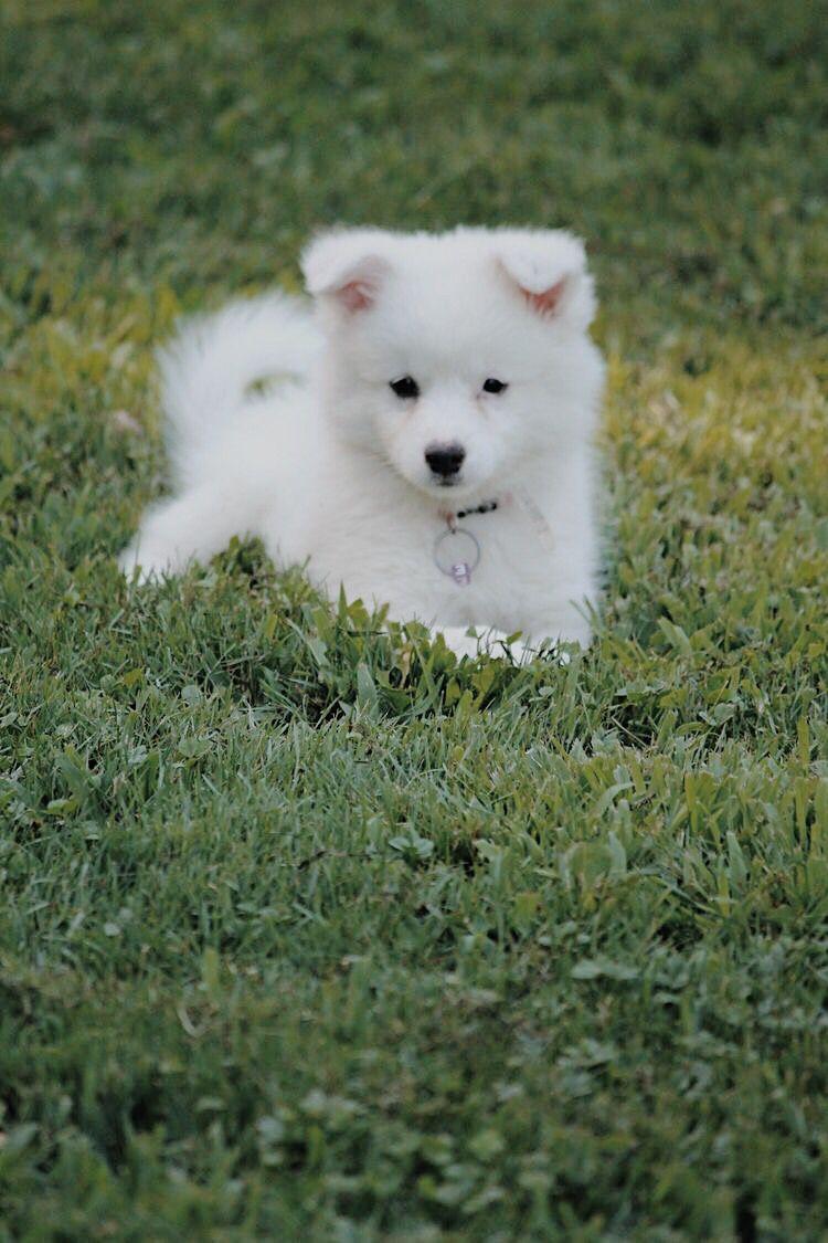 American Eskimo American Eskimo Puppy American Eskimo Dog Puppy
