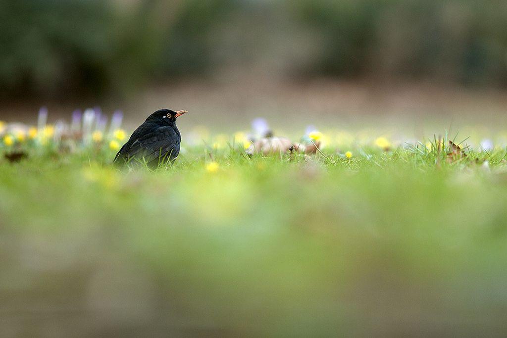 Amsel - Turdus merula - blackbird | by Juliane Myja
