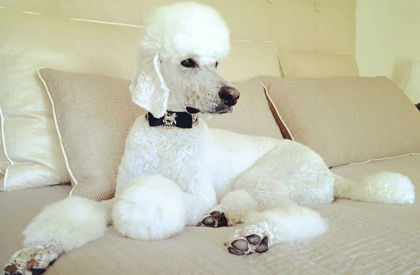 Pin By Stephanie Denapoli On Animals Pinterest Poodle Standard