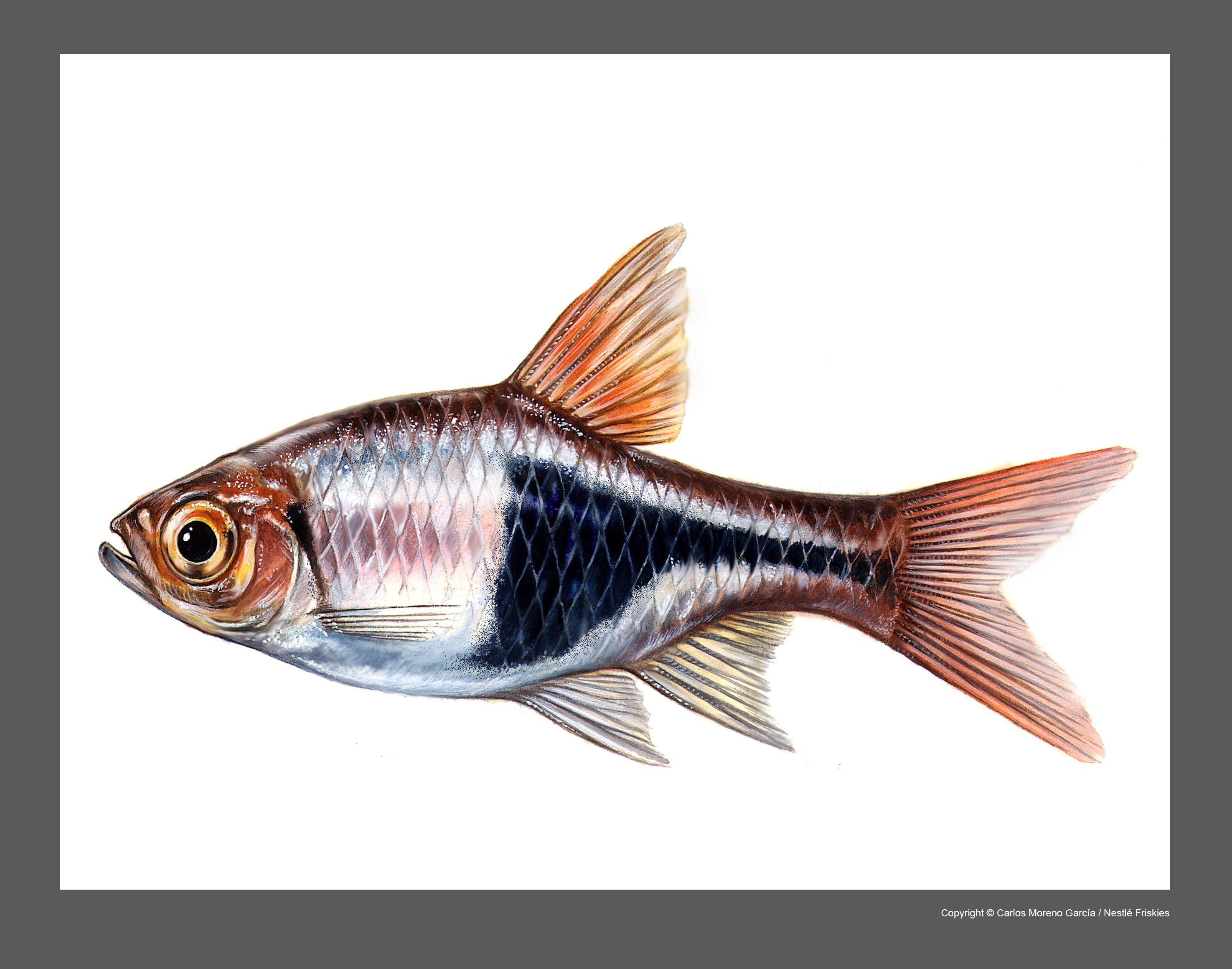 Freshwater aquarium fish from asia - Art Illustration Lakes Freshwater Fish Harlequin Rasbora Trigonostigma Heteromorpha
