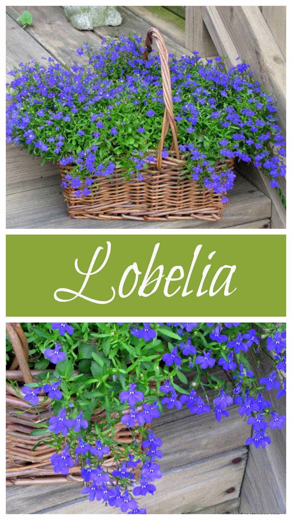 Lobelia Love Tips For Growing Lobelia Plants Diy Ideas