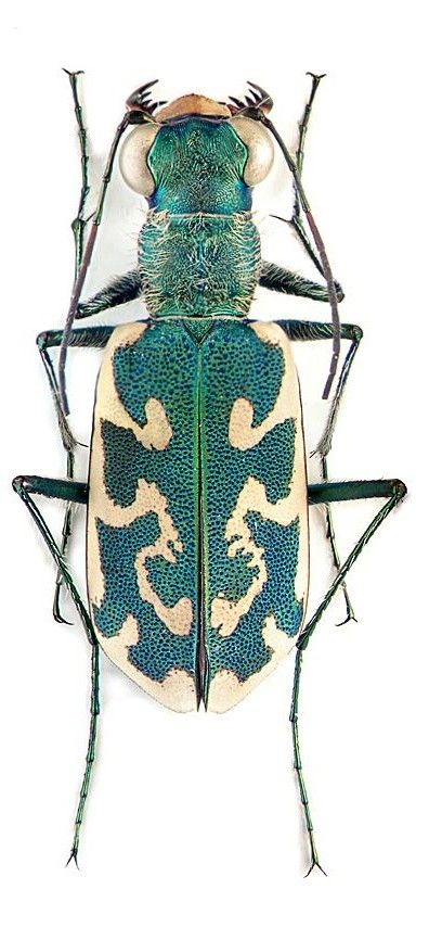 Pin By Truly Nolen Pest Control On Bug Out Insects Beautiful Bugs Beetle Insect