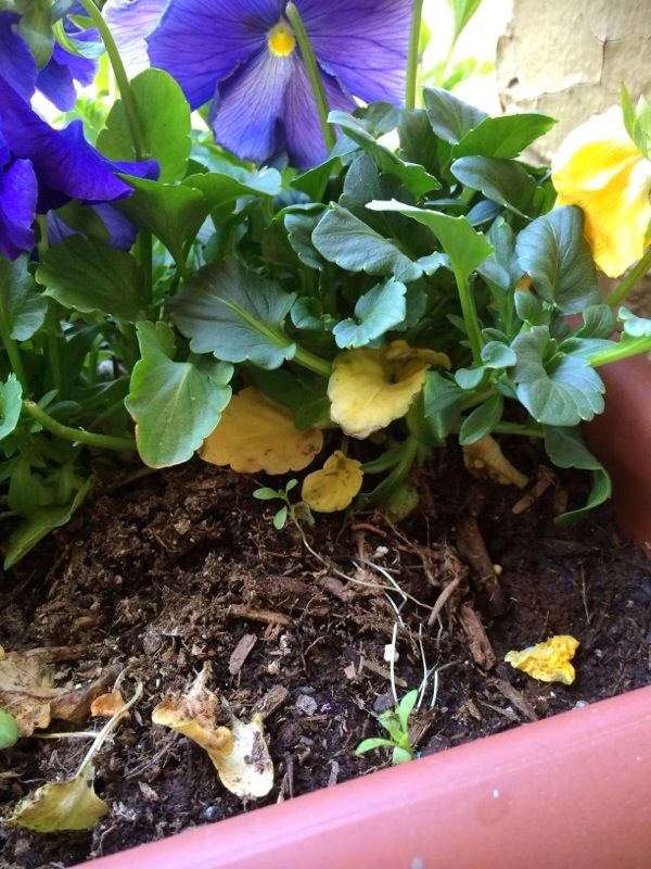 Pansy Problem With Yellow Leaves Yellow Leaves Plants Annual Plants