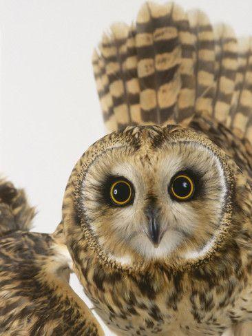Short-Eared Owl, St. Tiggywinkles Wildlife Hospital, UK Photographic Print