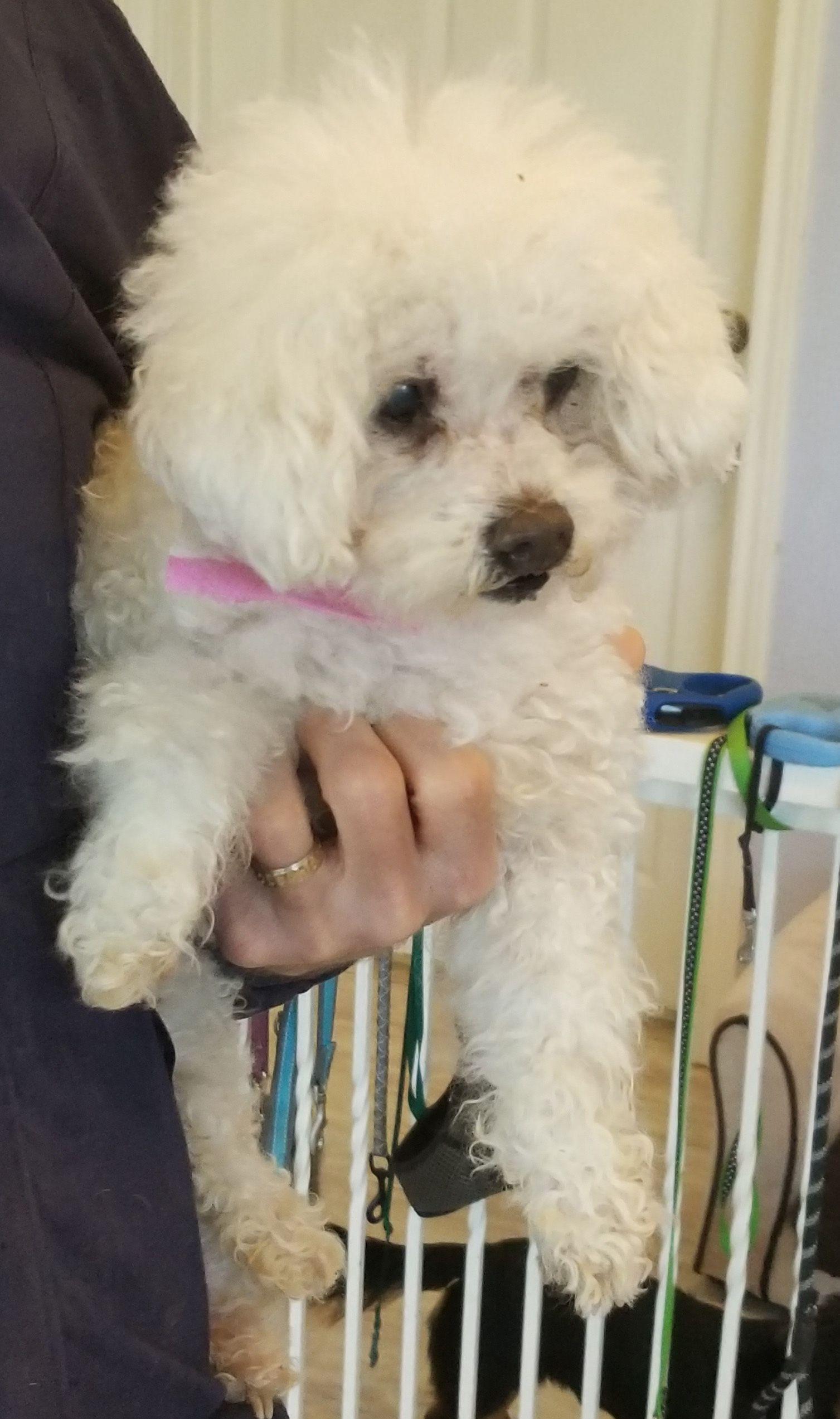 Adopt Chloe On Bichon Frise Dogs Pet Care