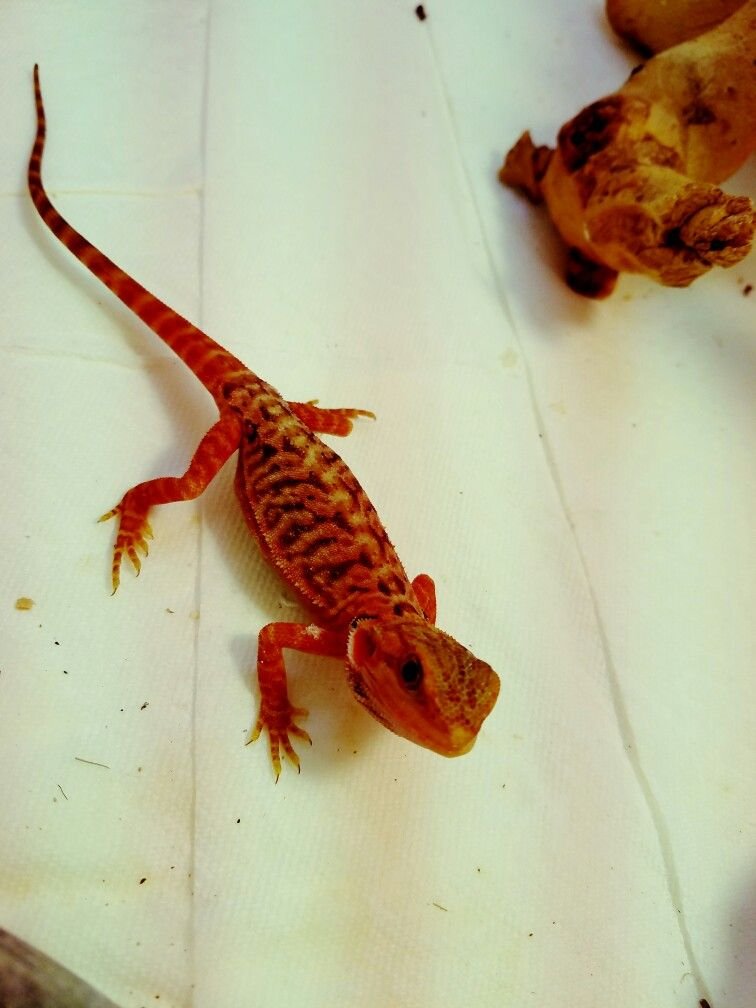 Baby Red Coral Tiger High Color Bearded Dragon | animal