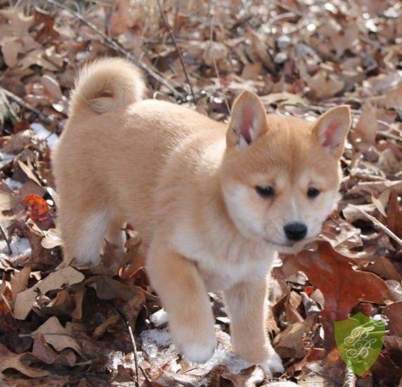 North Carolina Shiba Inu Breeders Shiba Inu Puppies Shiba Puppy