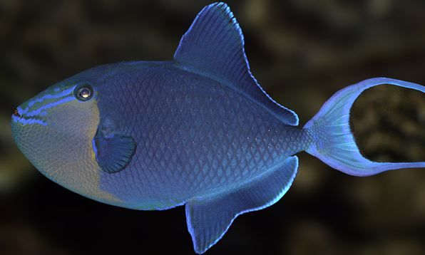 Nigerian Trigger Fish The Latest Addition To My Fish Family Love The Long Floppy Fin On Top When Swimming Fish Marine Fish Sea Fish