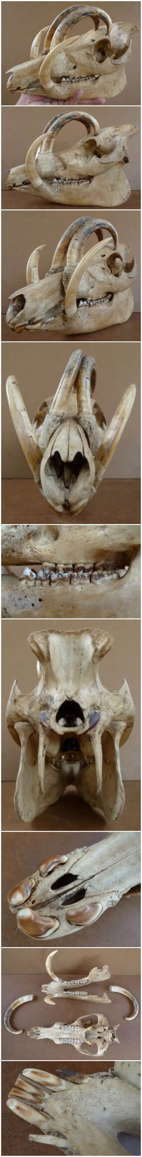 Abirusa Pig Skull Detailed Anatomical Pictures All Angles Teeth