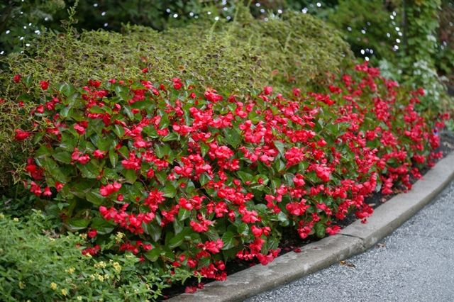 Whopper Begonia Perennial Flowering Plants Planting Flowers Different Plants