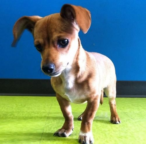 Gretel is an adoptable Dachshund, Chihuahua Dog in Newtown Square, PA You can fill out an adoption application online on our official website. Oh, just where can Han ... ...Read more about me on @petfinder.com