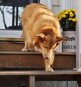 Canine Hip Dysplasia Treatment Management Of Hip