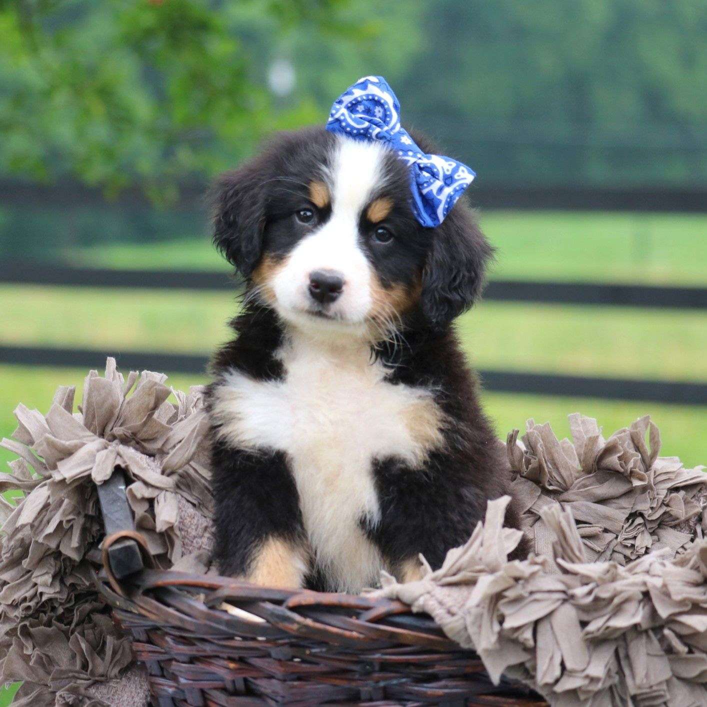 Meet Friendly Playful Loving Ohsocute Bernesemountaindog Hermione She Is An Awesome Berne Bernese Mountain Dog Puppy Bernese Mountain Dog Puppies