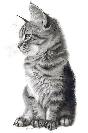 Foto: Maine Coon Kitten
