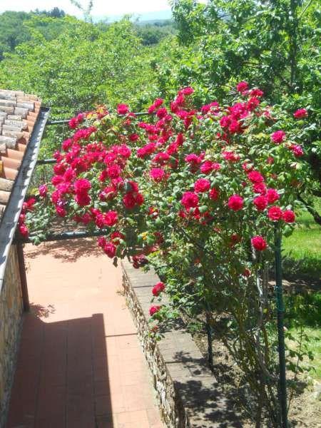 pergola di rose rosse Garden, Plants
