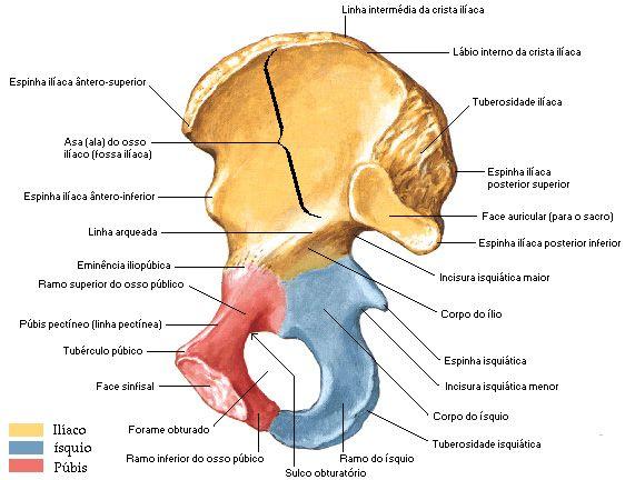 Iliaco Com Imagens Anatomia Dos Ossos Anatomia Ossos