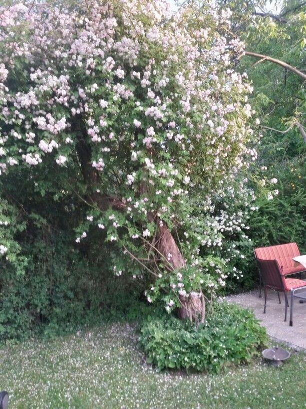 Rambler Pauls Himalayan Musk An Einem Alten Apfelbaum Plants Garden Musk