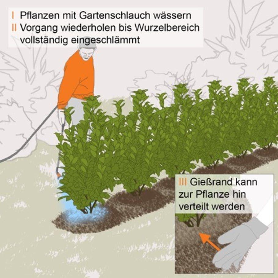 Kirschlorbeerhecke Pflanzen Schritt Fur Schritt Pflanzen