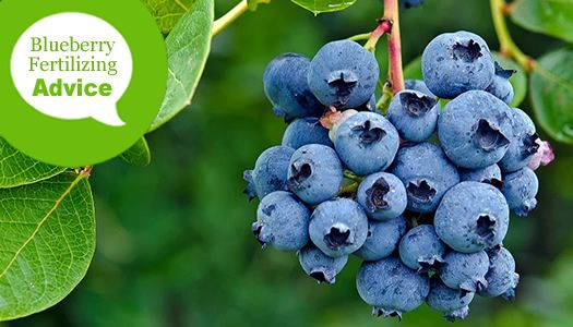 How To Fertilize And Water Blueberry Bushes Blueberry