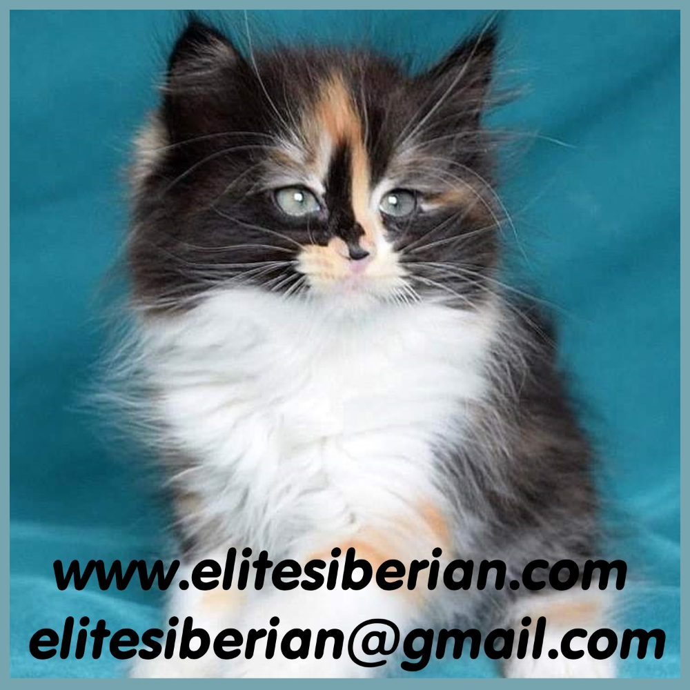 Siberian Cat Cat Breeders New York in 2020 Cat breeder