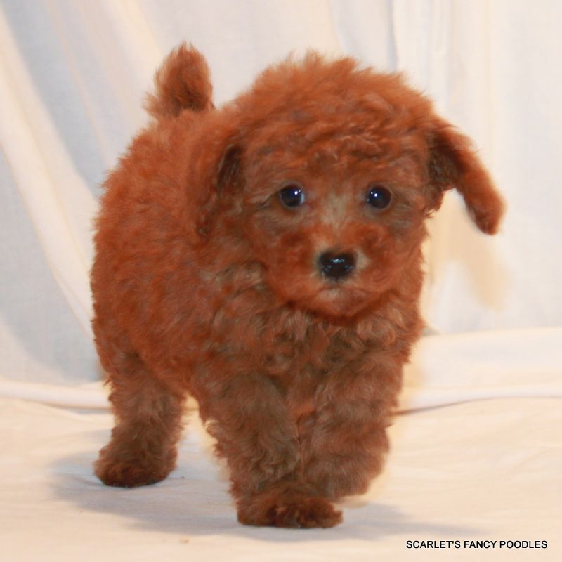 Sheba S Female Chip 9263 Scarlet S Fancy Poodles Red And