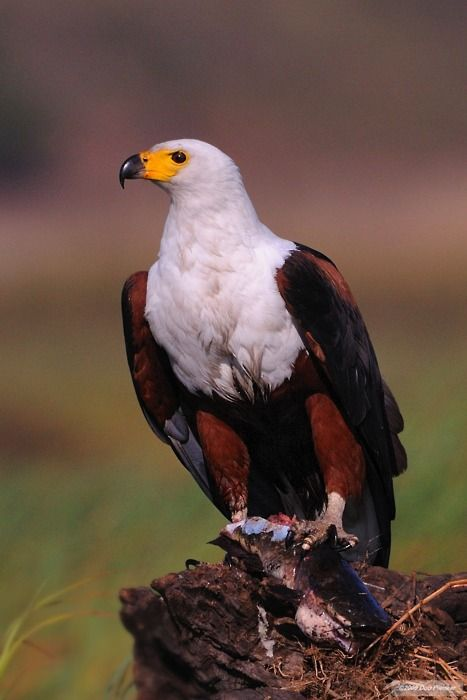 The African Fish Eagle - Haliaeetus vocifer, is  a large species of eagle that is found throughout the world wherever large bodies of water that have an abundant food supply
