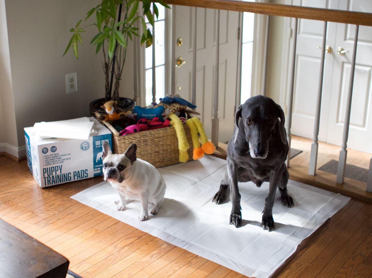 76ca3cc732b1c887a78457f0a5b42d4c - How To Get My Puppy To Use Puppy Pads