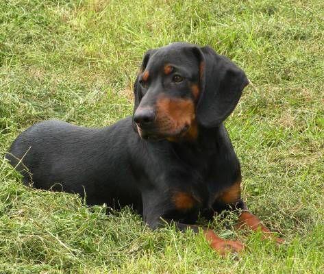 Slovenský Kopov (Slovensky Kopov) Slovakian Slovak Hound or Black Forest Hound #Dog