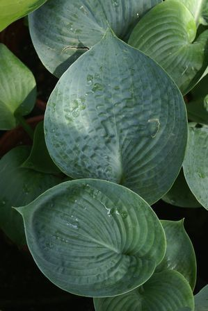 Big daddy hosta large bluegreen leaves greyish white bell big daddy hosta large bluegreen leaves greyish white bell shaped flowers in june one of the earliest flowering hostas partial to full shade mightylinksfo