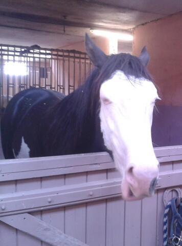 Rancho, cheval déjà grand malgré son jeune age