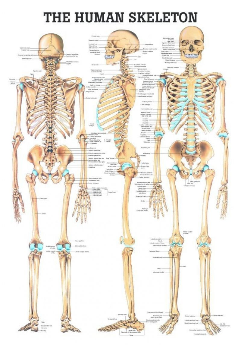 17 Best Ideas About Human Skeleton On Pinterest | Human Skeleton ...