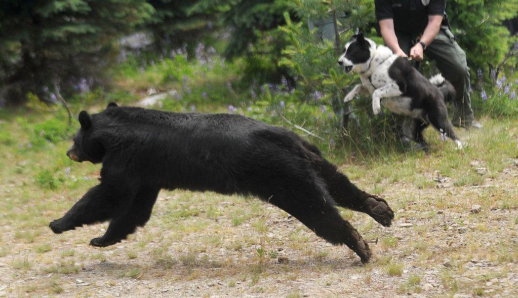 Dogs Chase Bears Away Bear Hunting Dog Bear Dog
