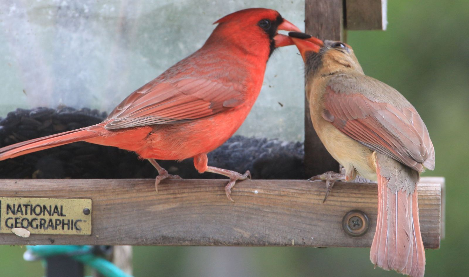 Male cardinal feeding a sunflower seed to his mate