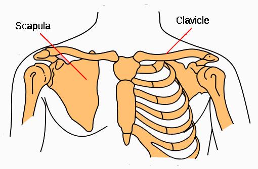 Shoulder Bones | Shoulder Joint | Shoulder Case Studies | Pinterest