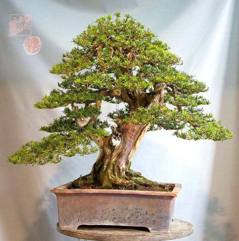 Pin by Barry Miller on Bonsai (With images) Bonsai