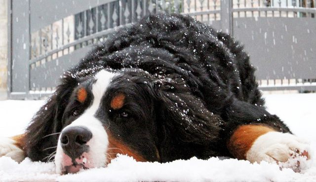 My Berner is patiently awaiting the first snow of the season