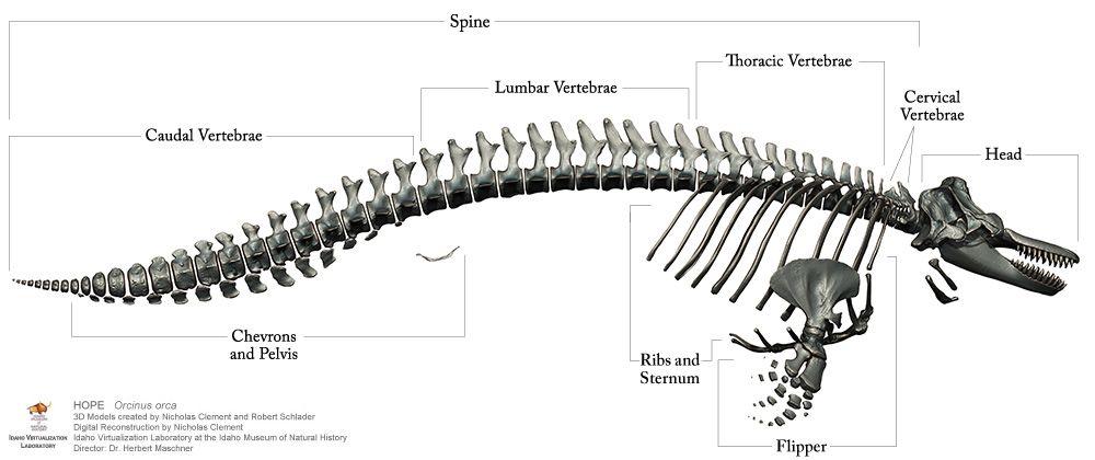 Orca (Killer Whale) v Deinosuchus rugosus
