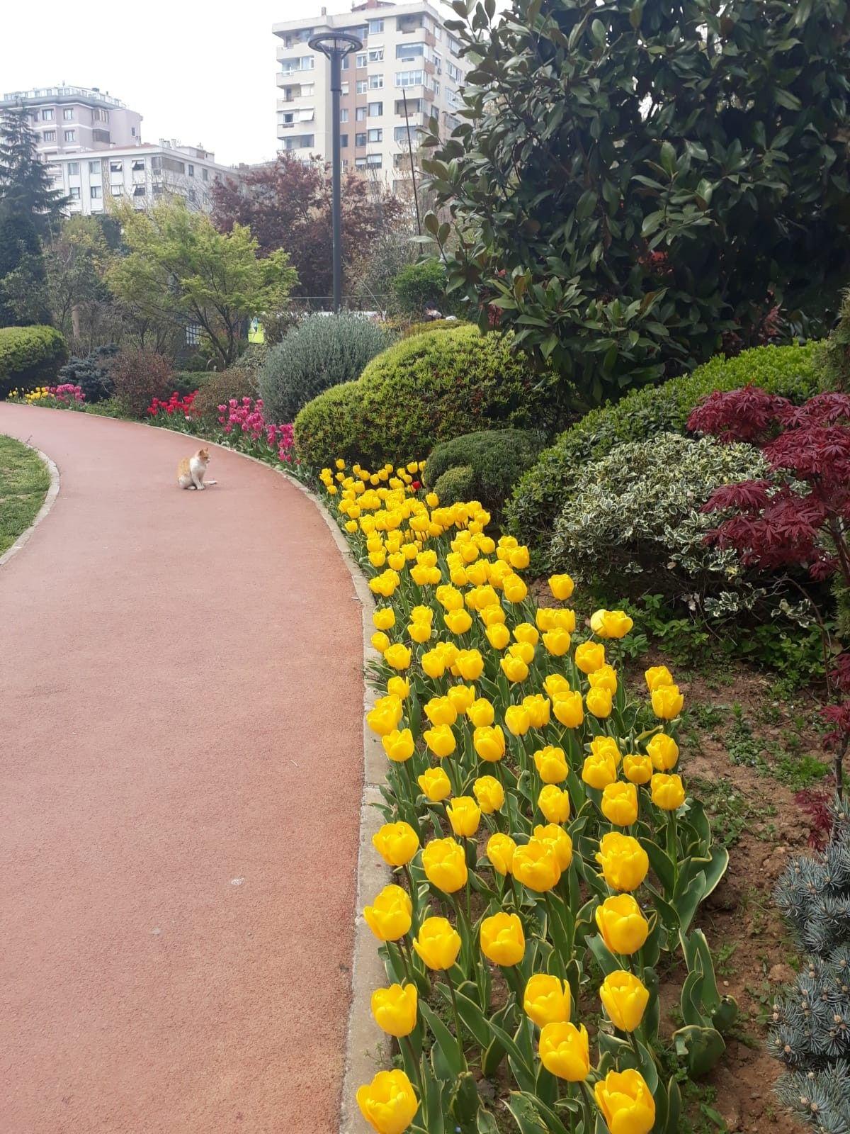 Siamo Nel Periodo Della Fuoritura Dei Tulipani Immagine Da Un