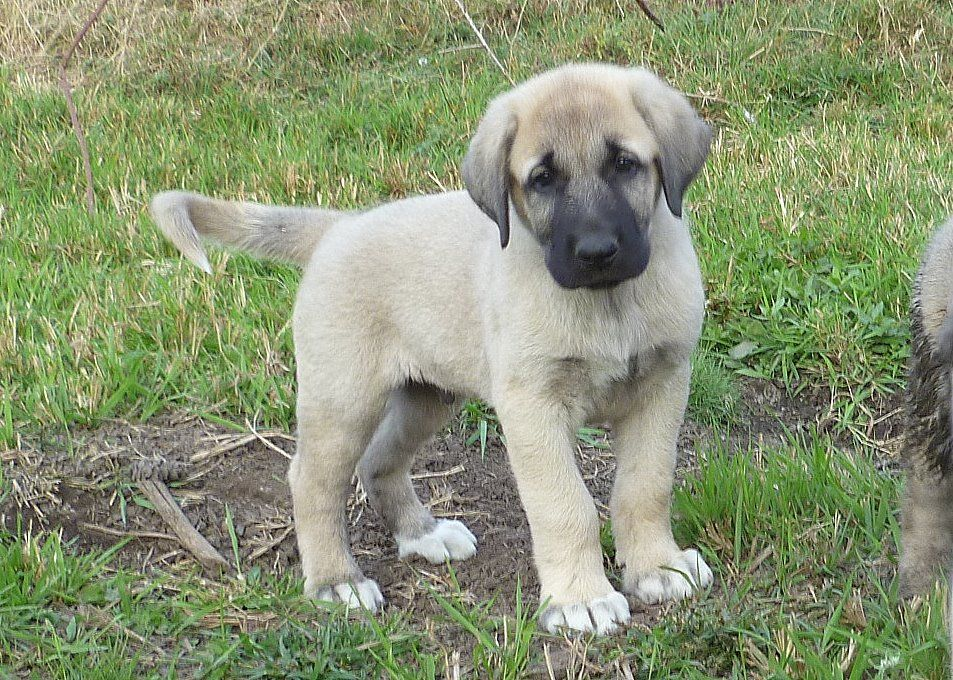 anatolian shepherd puppy - Google Search | Adorable ...