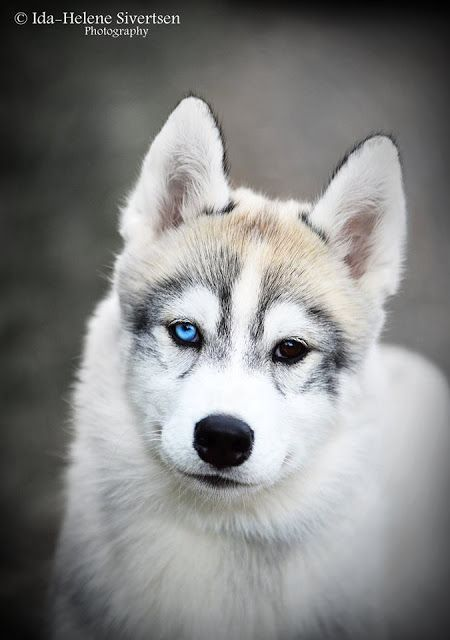 Beautiful Siberian Husky Dog Lykke 4 Months Old With Images