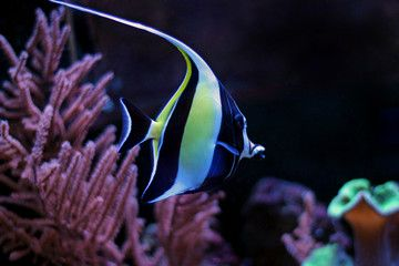 Photo Moorish Idol Zanclus Cornutus Reef Tank Photo Marine Life