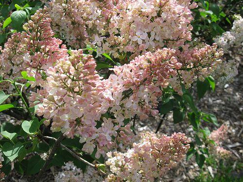 Syringa vulgaris 'Lucie Baltet'  more lilacs on page