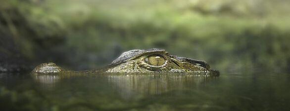 Ein Krokodil lauert halb abgetaucht auf Beute