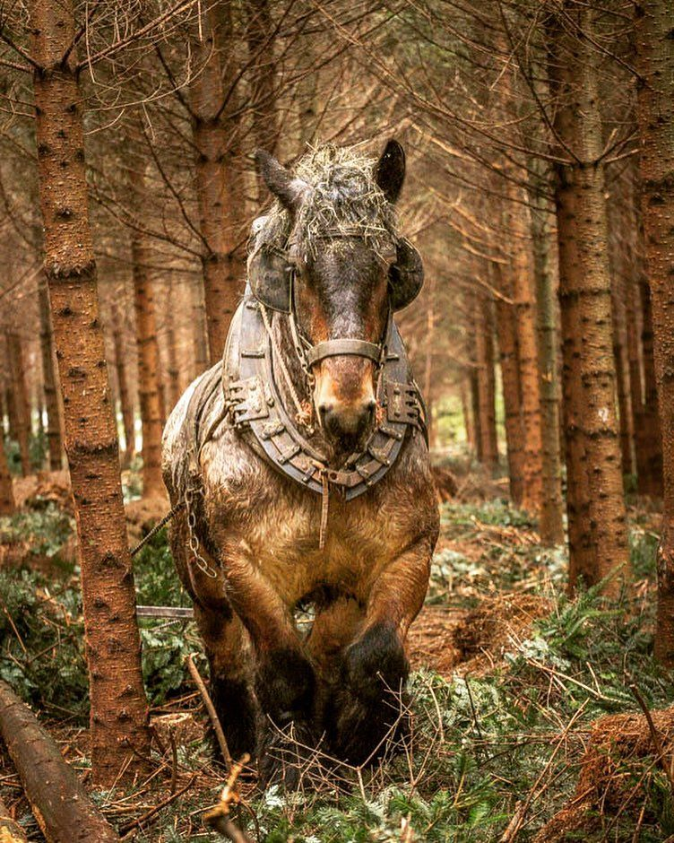 """Gigi Embrechts on Instagram: """"Here is an Ardennes draft horse logging in the forest in the Ardennes area of Belgium. It takes real skill and strength to do this work.…"""""""