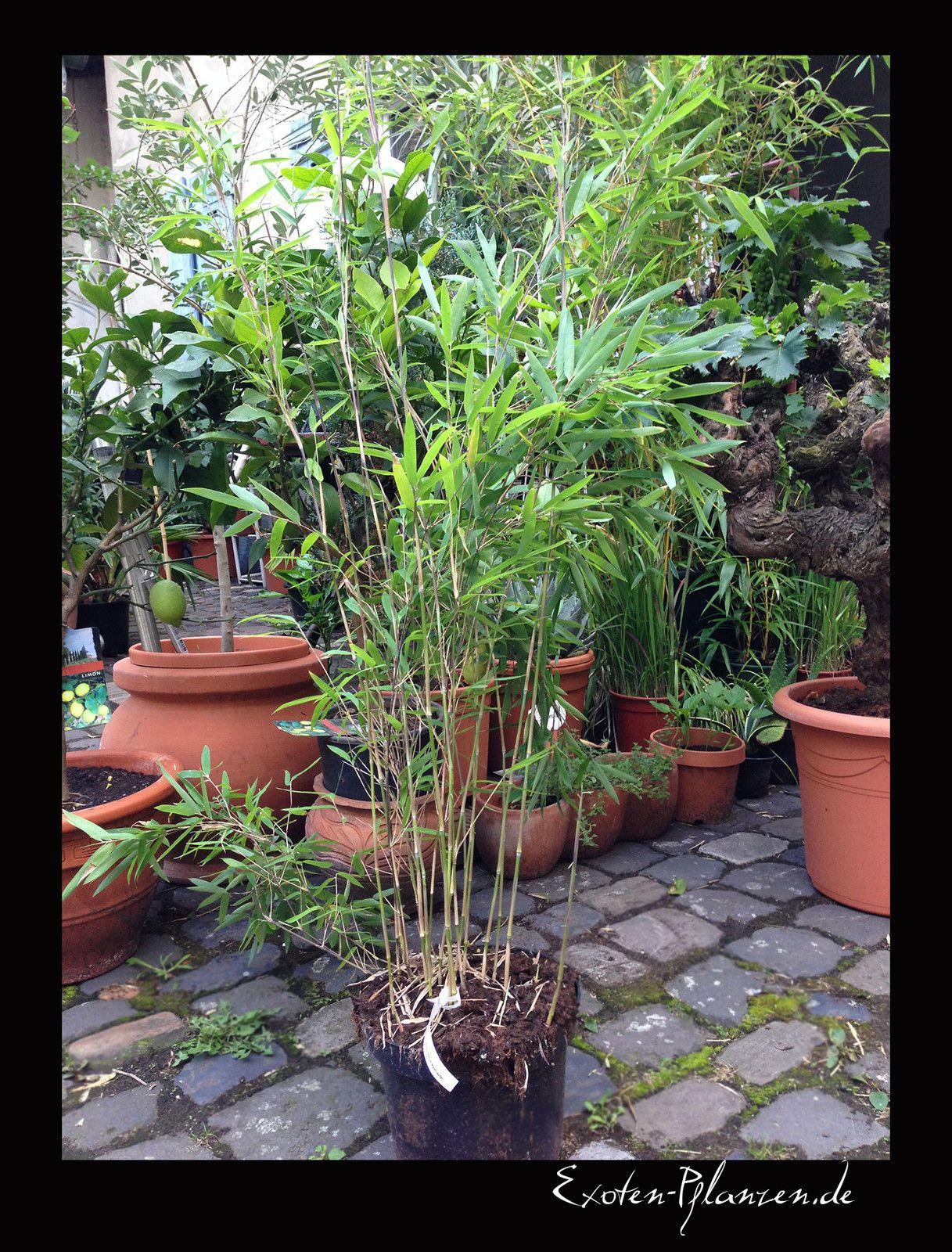 Bamboo Fargesia nitida Black Pearl black straws as Nigra 130 cm