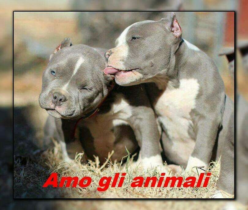 Pin By Cesar On American Bully Pitbull Puppies Puppies Pit Puppies